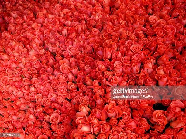 full frame of red roses - red roses stock photos and pictures