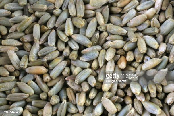 full frame of rye grain (secale cereale) - grainy stock pictures, royalty-free photos & images