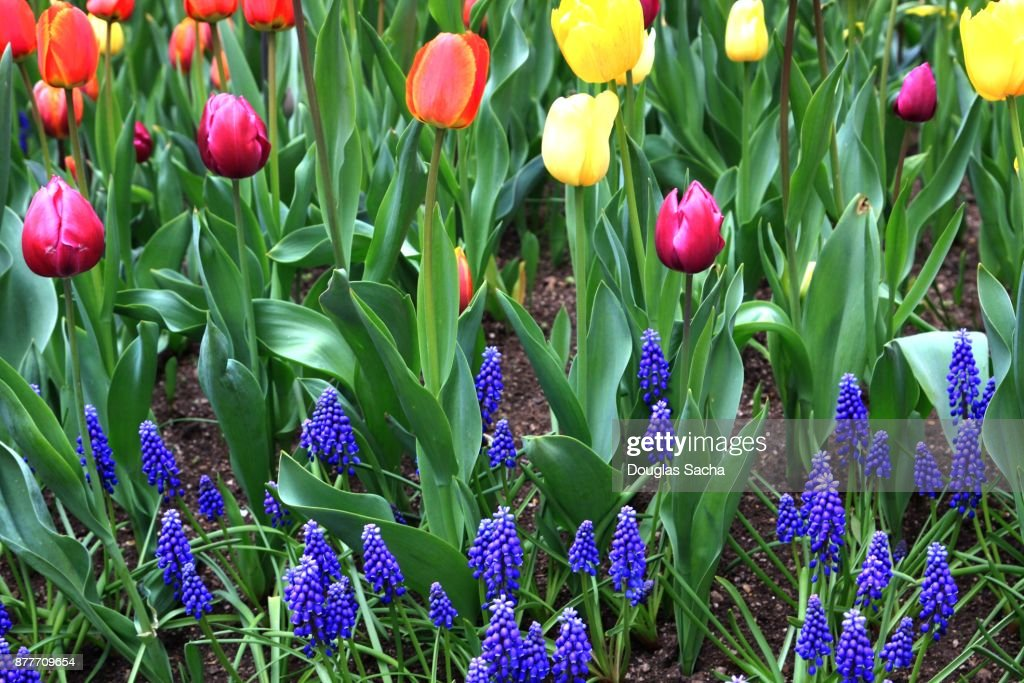 Full frame of spring season blooming bulb flowers from the full frame of spring season blooming bulb flowers from the netherlands stock photo mightylinksfo Gallery