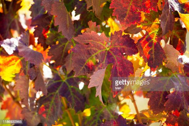 full frame of texture, the grape leaf turns red in autumn - grape leaf stock pictures, royalty-free photos & images