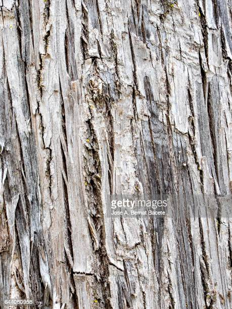 Full frame of the textures and colors of a trunk wood of a former cypress
