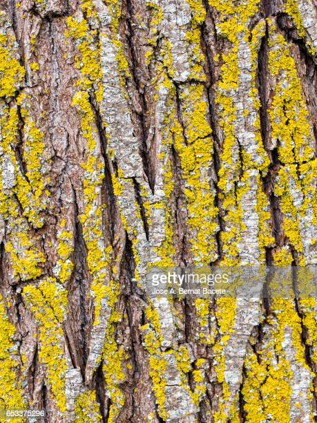 Full frame of the textures and colors of a trunk wood with yellow lichens