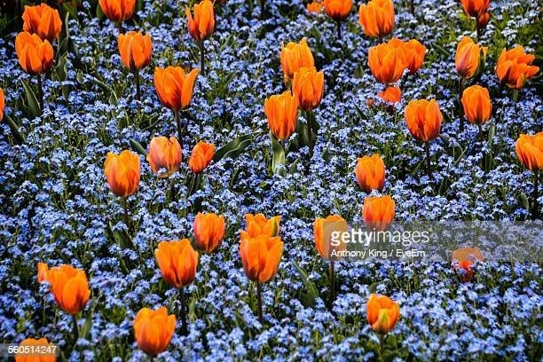 Full Frame Of Tulips With Forget-Me-Not Flowers In Field