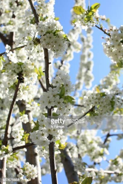 Full frame of white cherry blossom with blue sky