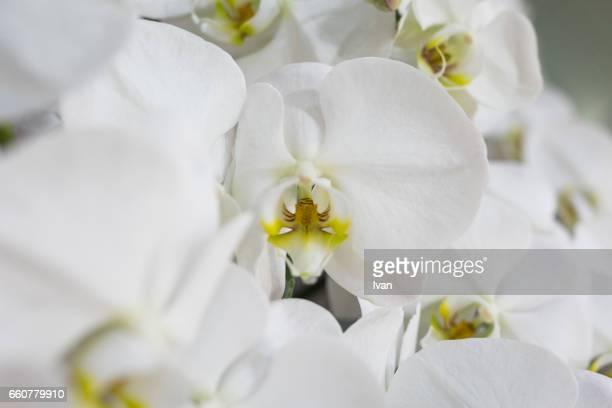 Full Frame of White Orchids
