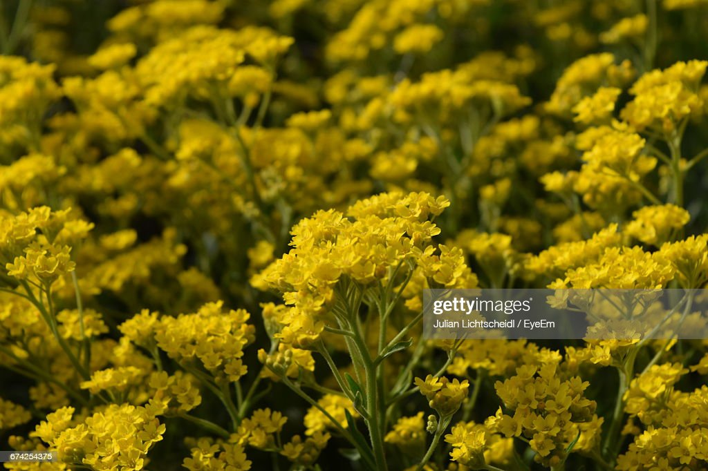 Full frame of yellow flowers blooming in field stock photo getty full frame of yellow flowers blooming in field stock photo mightylinksfo