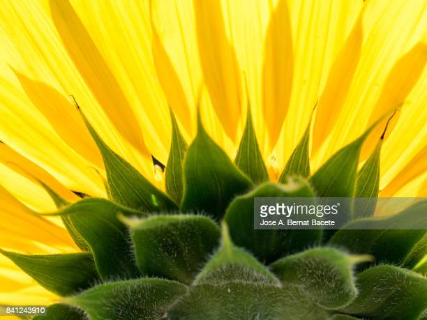 Full frame one sunflower blossoms brightly lit by the sun in the field, Spain