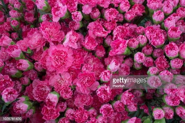 full frame pink carnation flowers in dounan flower market - carnation flower stock pictures, royalty-free photos & images