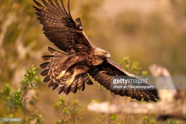 full frame portrait of golden eagle in flight - aguila real fotografías e imágenes de stock