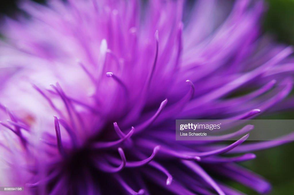 Full Frame Shot of a purple flower : Stock-Foto