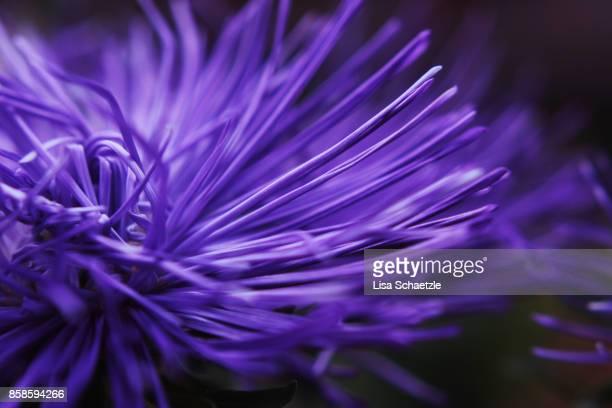full frame shot of a purple flower - lila stock-fotos und bilder