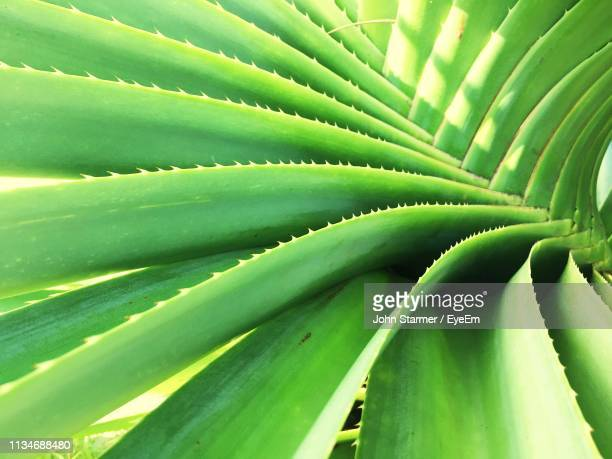 full frame shot of aloe vera plants - aloe vera plant stock pictures, royalty-free photos & images