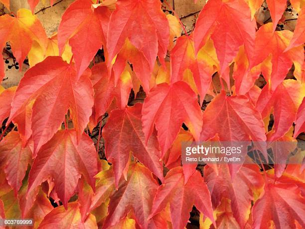 full frame shot of autumn leaves against wall - lienhard stock pictures, royalty-free photos & images