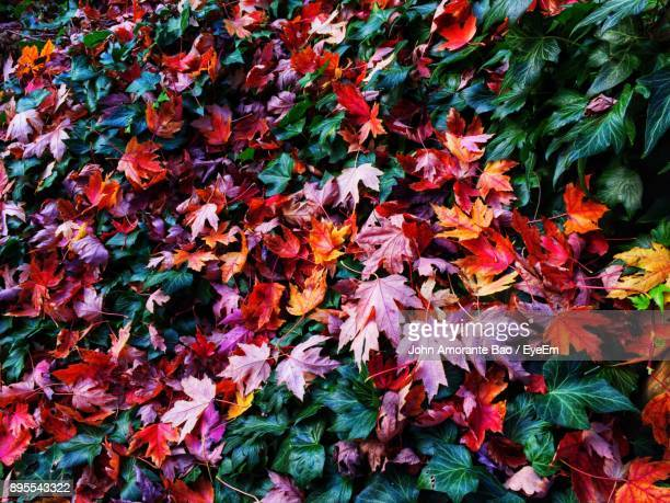 full frame shot of autumn leaves - maple leaf stock photos and pictures