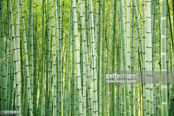 full frame shot of bamboo grove - bamboo stock photos and pictures