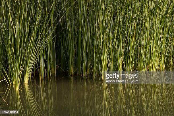 full frame shot of bamboo water in lake - fullerton california stock photos and pictures