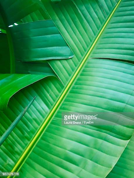 full frame shot of banana leaf - banana tree stock pictures, royalty-free photos & images
