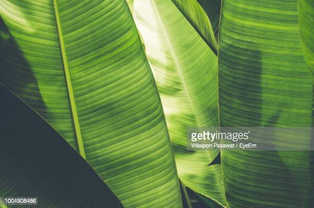 full frame shot of banana leaves - banana tree stock pictures, royalty-free photos & images