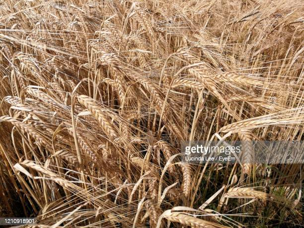 full frame shot of barley field - lucinda lee stock pictures, royalty-free photos & images