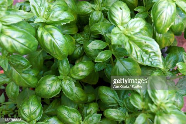 full frame shot of basil - alex olariu stock photos and pictures