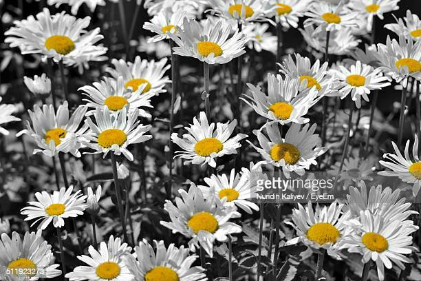 Full frame shot of beautiful daisies blooming on field