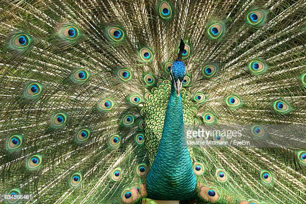 full frame shot of beautiful peacock dancing with fanned out feathers - out of frame stock pictures, royalty-free photos & images