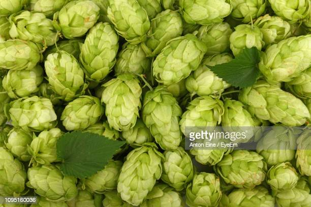 full frame shot of beer hops - crop plant stock pictures, royalty-free photos & images
