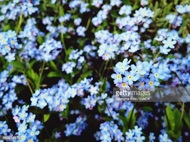 Full Frame Shot Of Blue Forget-Me-Not Flowers In Field