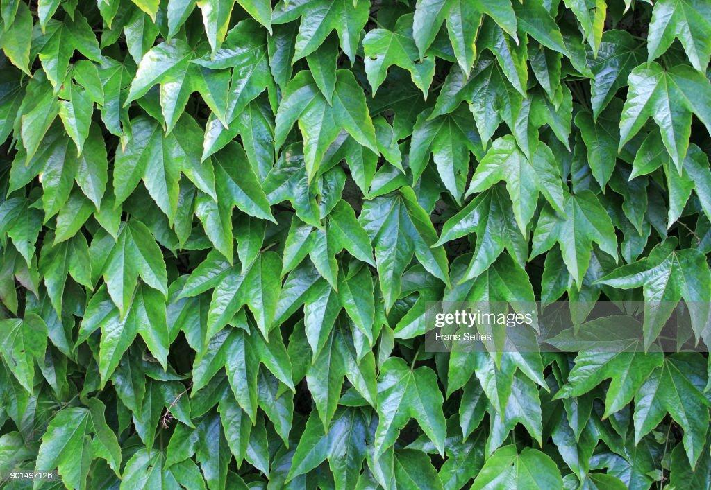 Full frame shot of Boston ivy : Stockfoto