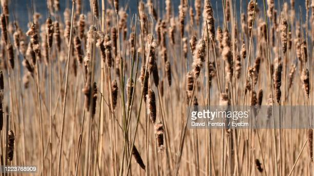 full frame shot of bullrush plants - widnes stock pictures, royalty-free photos & images