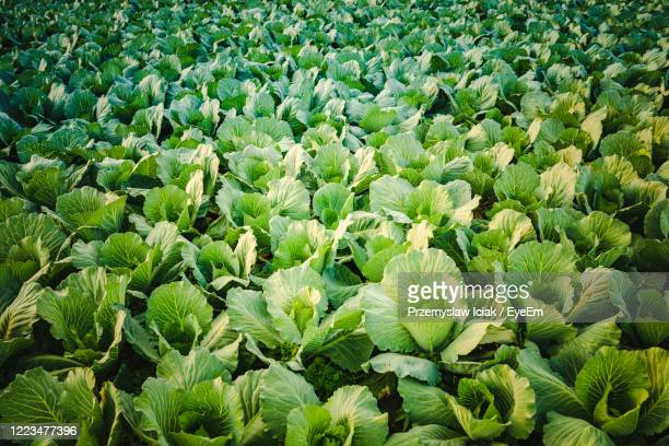 full frame shot of  cabbage plants growing on field - cavolo cappuccio verde foto e immagini stock