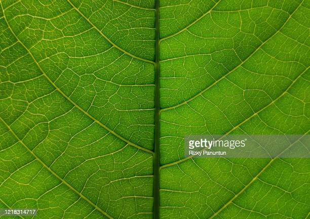 full frame shot of cassava leaf - high scale magnification stock pictures, royalty-free photos & images