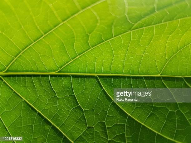 full frame shot of cassava leaf - blatt pflanzenbestandteile stock-fotos und bilder