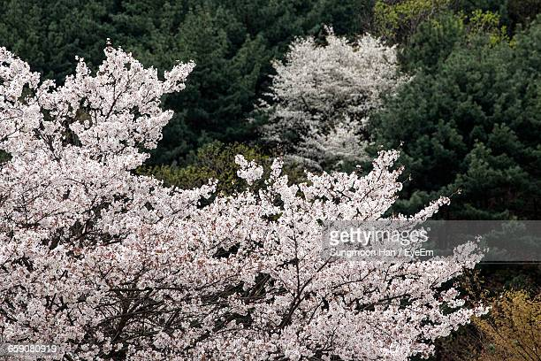 Full Frame Shot Of Cherry Blossoms Growing On Tree