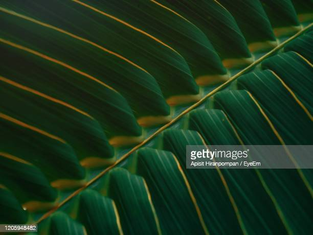 full frame shot of coconut green leaves - apisit hiranpornpan stock pictures, royalty-free photos & images