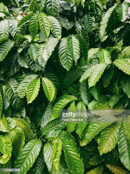 full frame shot of coffee leaves - 囲む ストックフォトと画像