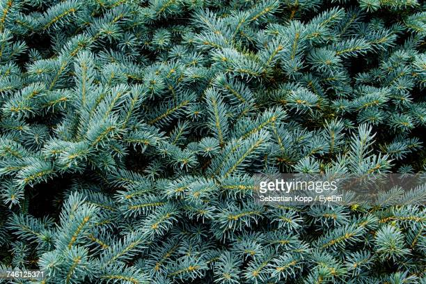 Full Frame Shot Of Coniferous Tree