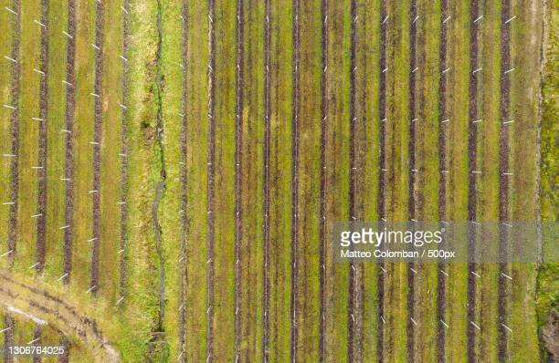 full frame shot of corn field,susegana,treviso,italy - treviso italy stock pictures, royalty-free photos & images