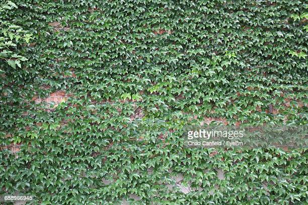 Full Frame Shot Of Creeper Plants Growing On Brick Wall