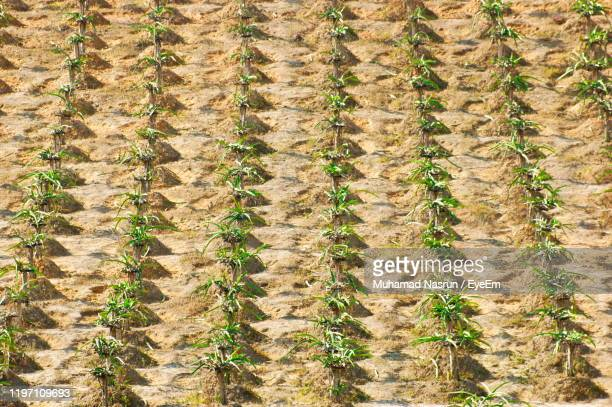full frame shot of crops growing on field - muhamad nasrun stock pictures, royalty-free photos & images