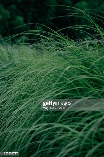 full frame shot of crops growing on field - changzhou stock pictures, royalty-free photos & images