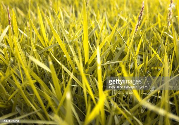 full frame shot of crops growing on field - carvajal stock photos and pictures