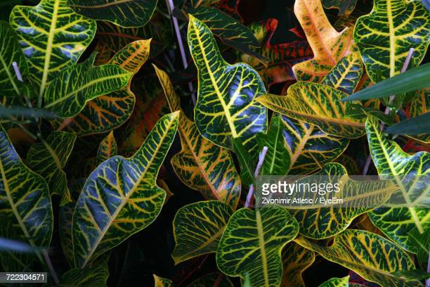 Full Frame Shot Of Croton Plant With Green And Yellow Leaves
