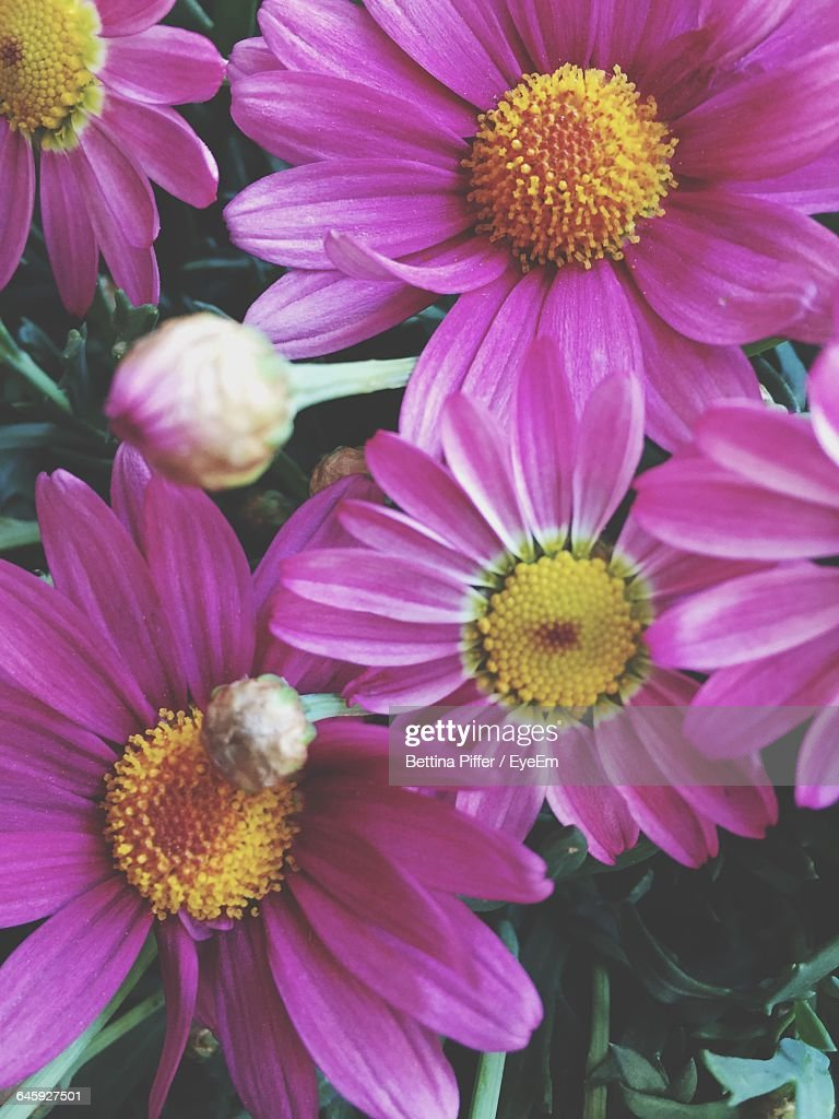 Full Frame Shot Of Daisy Flowers Stock Photo Getty Images