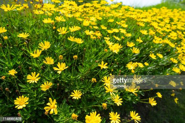 full frame shot of daisy growing on field at lawn - forget me not stock pictures, royalty-free photos & images