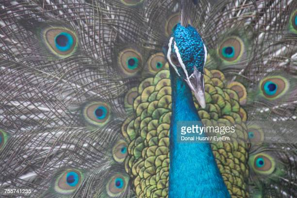 full frame shot of fanned out peacock - out of frame stock pictures, royalty-free photos & images