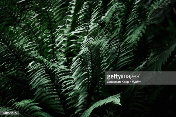 Full Frame Shot Of Fern Plants Growing Outdoors