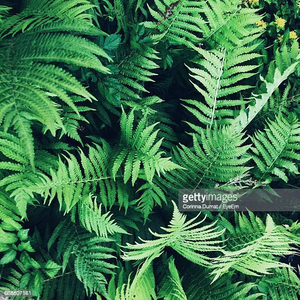 Full Frame Shot Of Fern Plants
