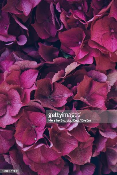 full frame shot of flowers - rose petal stock pictures, royalty-free photos & images