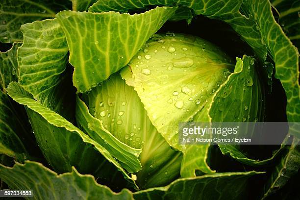 full frame shot of fresh cabbage - freshness stockfoto's en -beelden